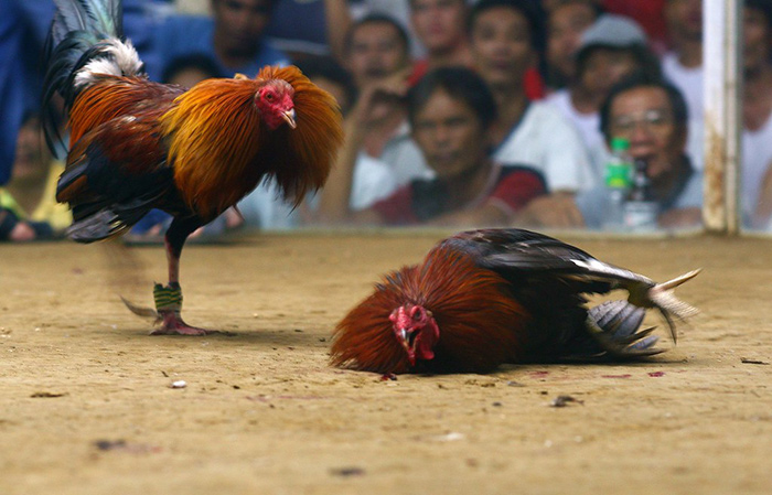 salah satu ayam yang cidera